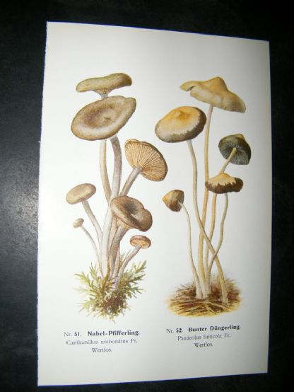 Edmund Michael Fungi C1900 Mushroom Print. Nabel-Pfifferling | Albion Prints